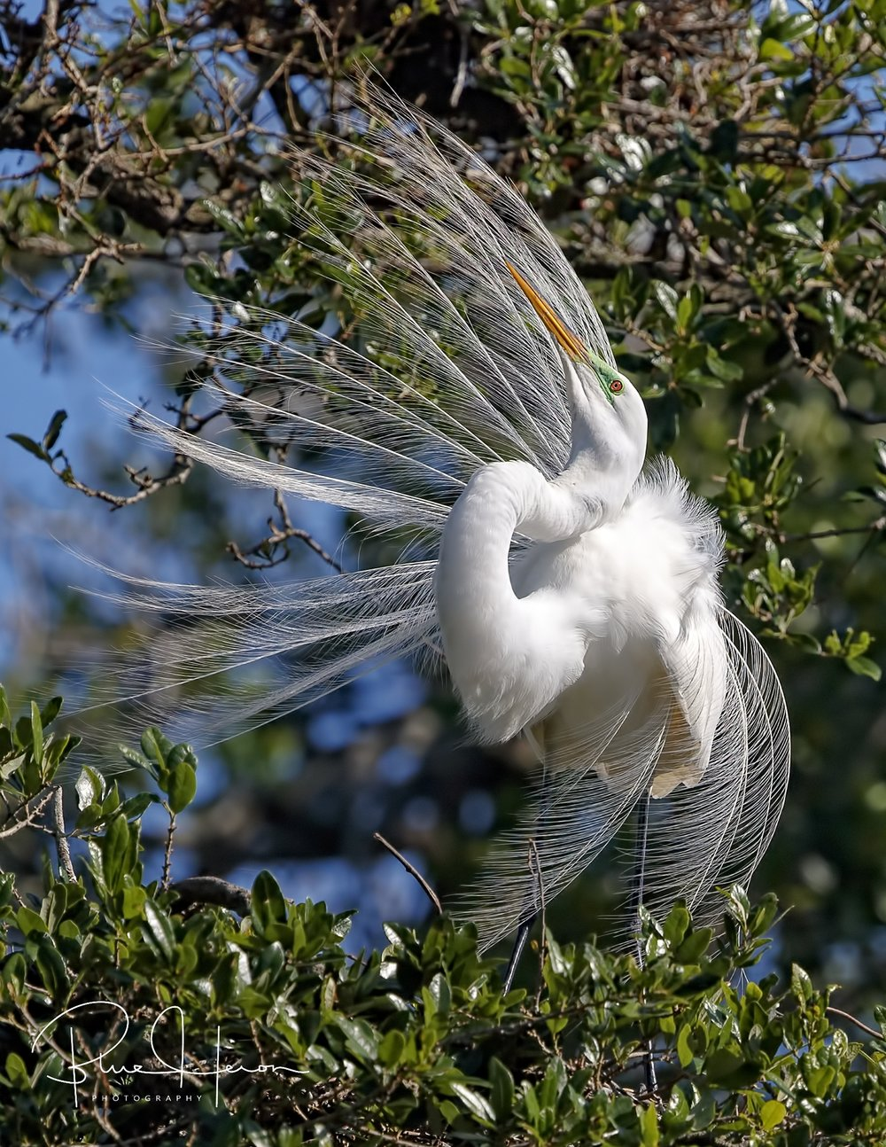 Shot of the day…Great Egret in breeding plumage and display posture
