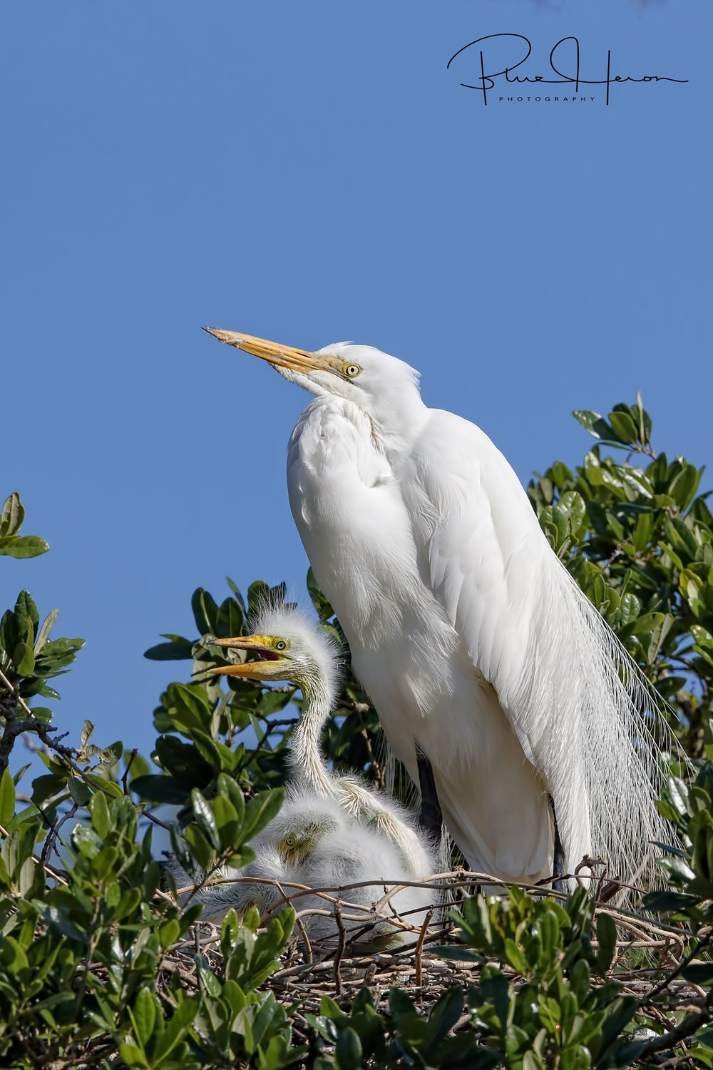 Great Egret and nestlings