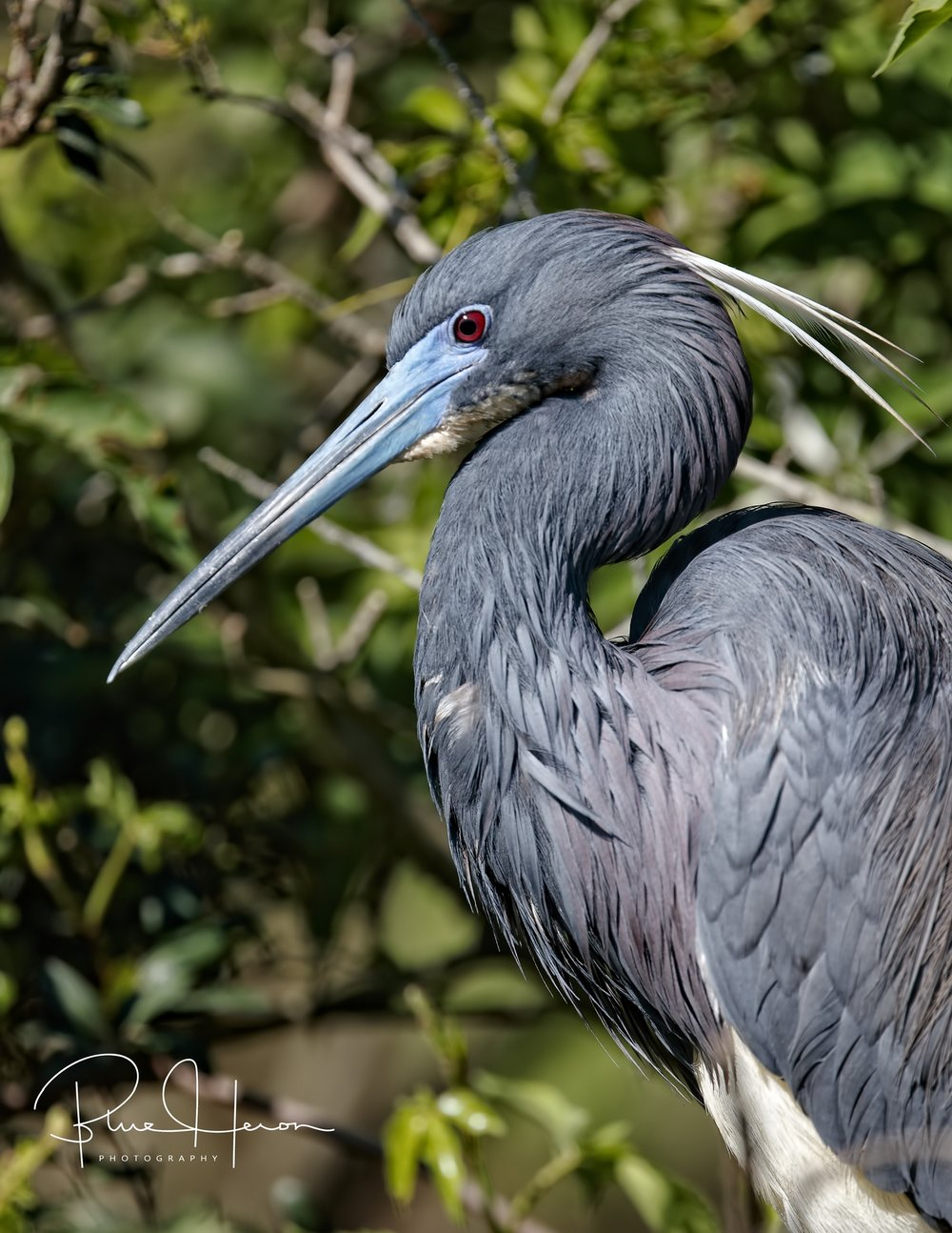 Tricolored Herons get breeding plumes on top, red eyes and blue bill coloration