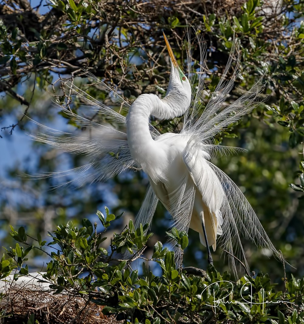 If you got it, flaunt it…Great Egret in courtship display