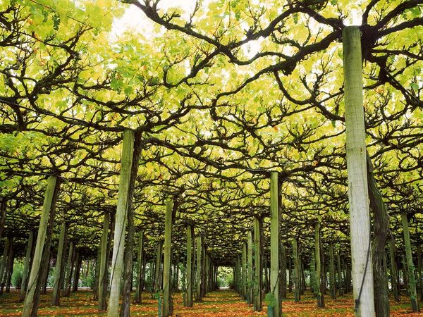 overhead-grape-vine-trellising_9131_600x450.jpg
