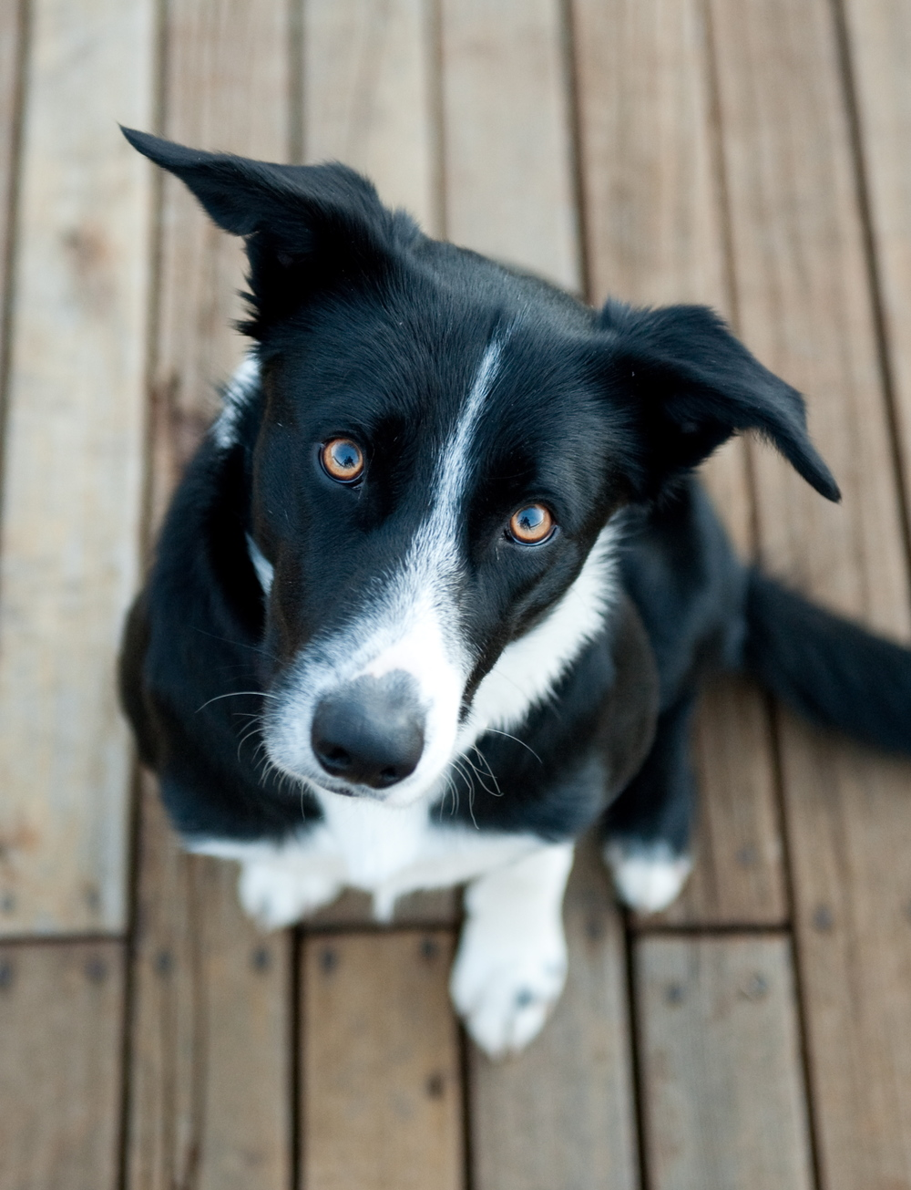 Tillman is the official mascot of AJD Builders. TIllman is 4-years old and a Kelpie / Border Collie cross-breed. He enjoys meeting new people, going for rides in the company trucks, and water sports.