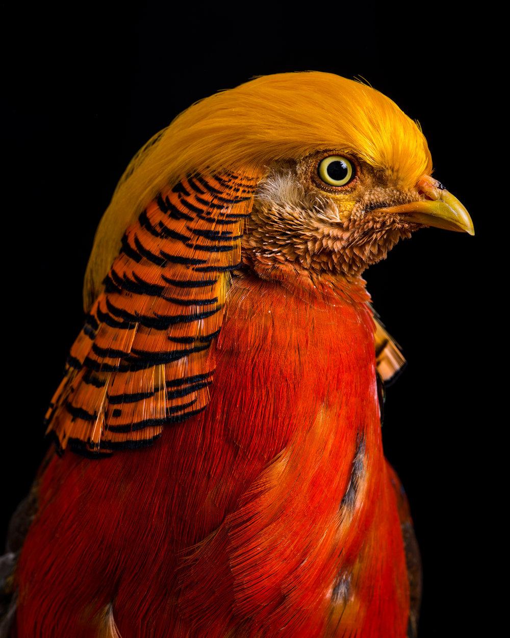 golden_pheasant_25.jpg