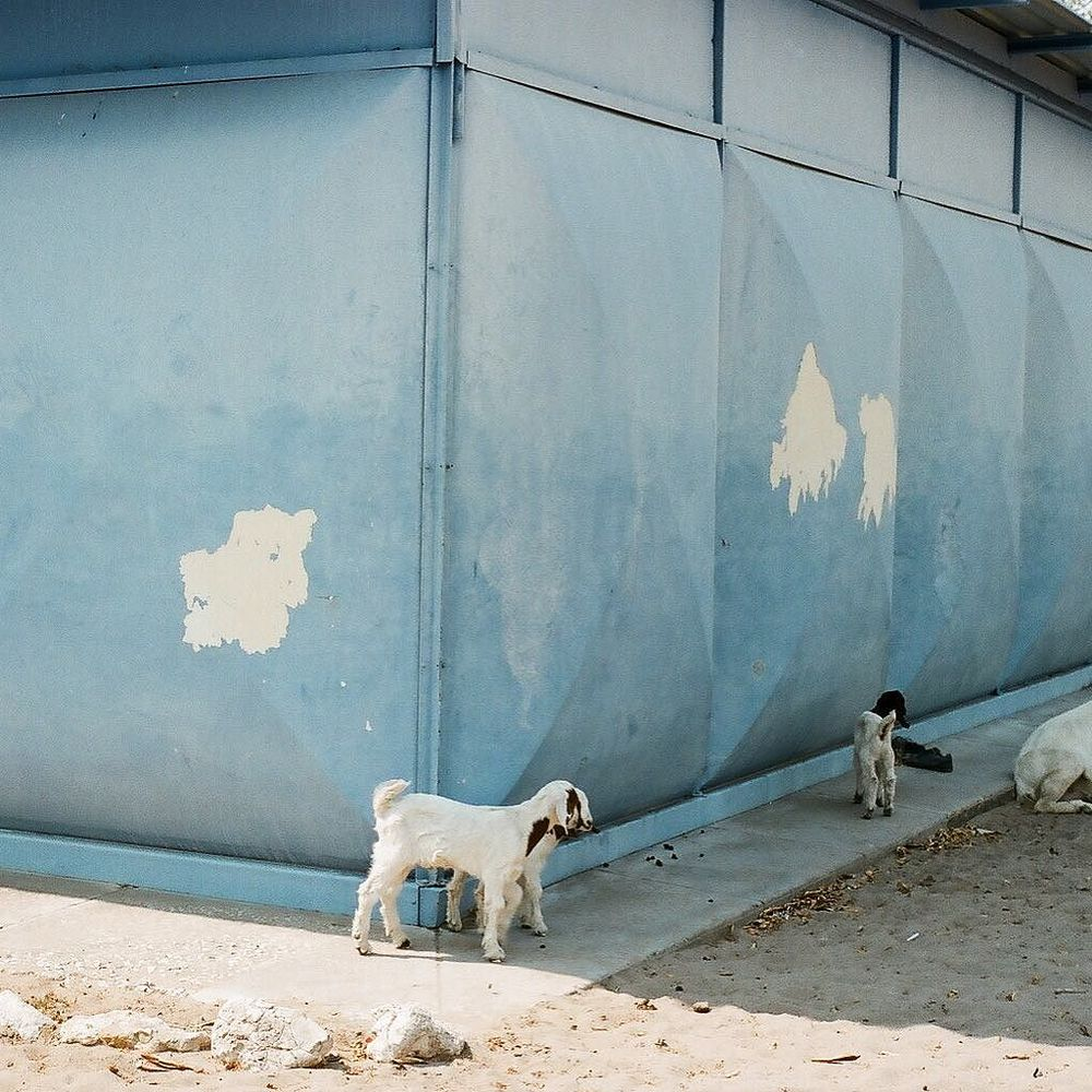 Tsumkwe goats