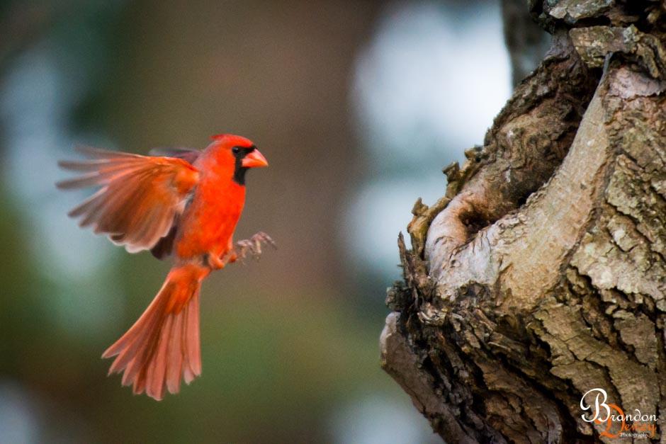 Northern Cardinal.  Goochland, VA.  Link to Photo