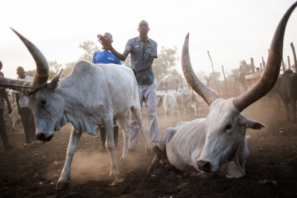 The cow is the national symbol of South Sudan, and hugely important to many people's livelihoods as pastoralists.