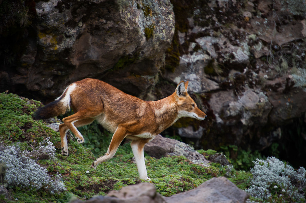 Part of the work of conservationists is to monitor the surviving wolves' health. Here, a wolf from the Badagassa pack limps down a rocky slope, its back-right leg injured and unable to take any weight.