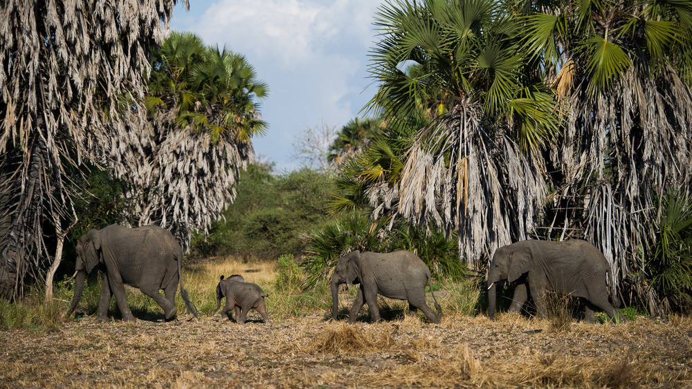 Perhaps a quarter of Africa's elephants live in Tanzania, and estimates reach as high as 36,000 elephants per year are killed for their tusks, worldwide.
