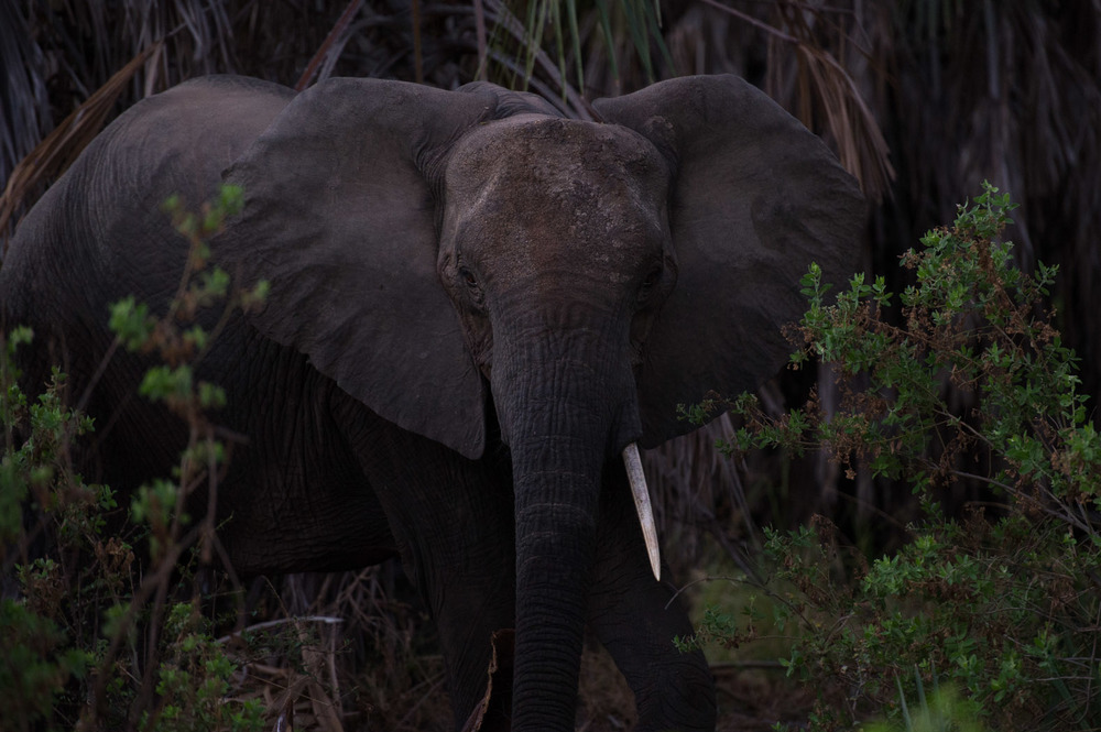The Selous Game Reserve has seen a massive decrease in its population of elephants over the past decade, largely due to illegal poaching of the animals for their tusks, which fuels the illicit international ivory trade.
