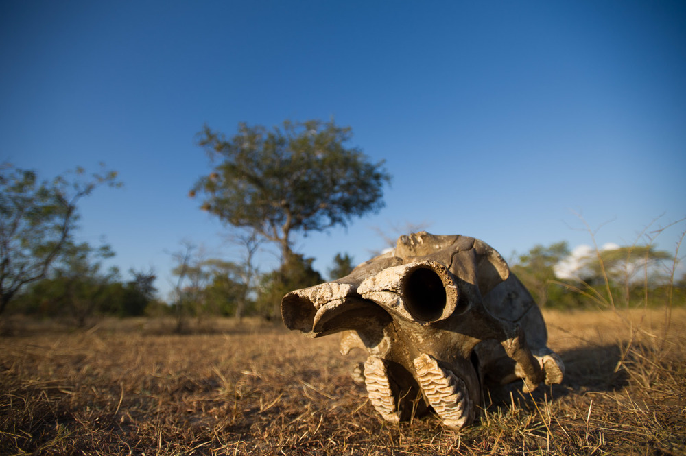 An elephant's skull—the orbits of the skull where tusks are attached in the forefront—lies in the savannah in the Selous Game Reserve in Tanzania.