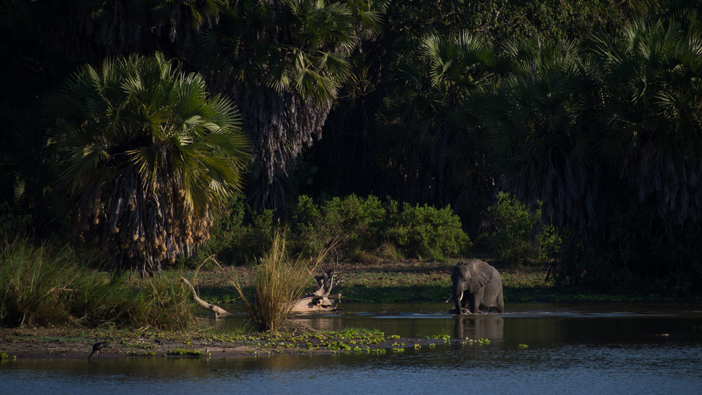 An elephant walks through the edge of Lake Manze in the Selous Game Reserve. Safari guides here say it is increasingly difficult to find elephants, particularly larger bulls.