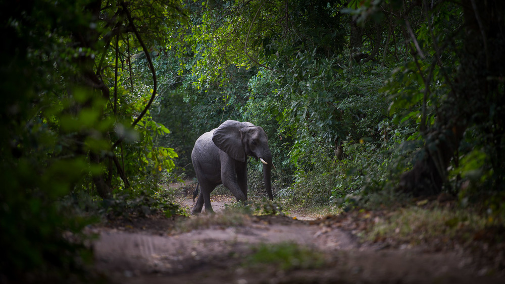 An elephant walks along a forest road on the outskirts of Mloka, near to the edge of the Selous Game Reserve. Locals in Mloka say that many of the elephants have disappeared from the area surrounded the village due to high rates of poaching.