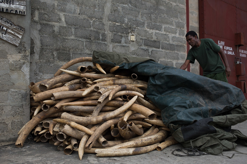 An employee of the Wildlife Division in the Tanzanian Ministry for Natural Resources and Tourism pulls back a tarpaulin covering a seizure of 347 tusks outside the Tanzanian ivory warehouse in Dar es-Salaam.