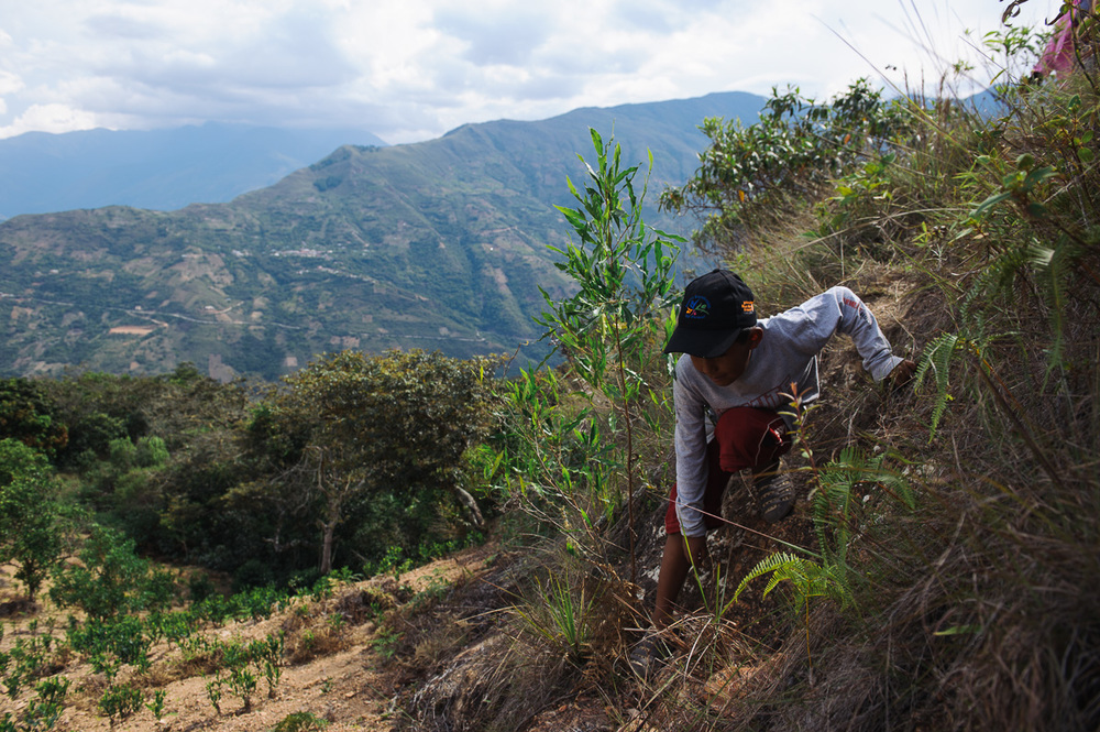 Brandon, 9, climbs down a dirt bank on his way to pick coca leaves in a plantation outside of the village of Coripata in the Los Yungas region of Bolivia. Brandon is too young to legally work, but earns 4 bolivianos per pound of coca leaves picked; generally around 32 bolivianos per day ($4.60 USD), which he gives to his mother.