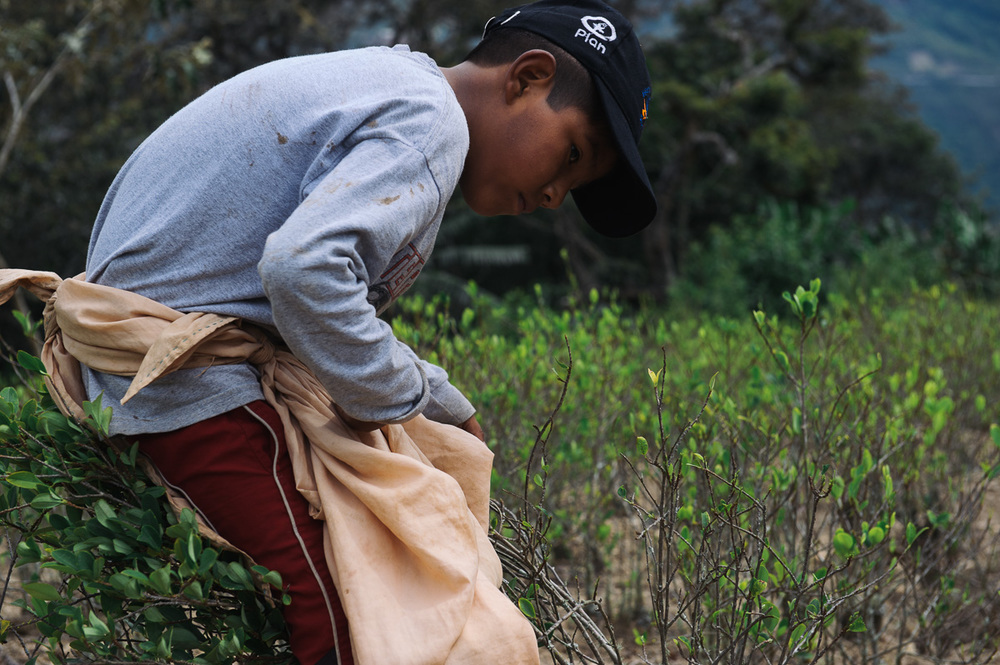 Brandon, 9, picks coca leaves in a plantation outside of the village of Coripata in the Los Yungas region of Bolivia. Brandon is too young to legally work, but earns 4 bolivianos per pound of coca leaves picked; generally around 32 bolivianos per day ($4.60 USD), which he gives to his mother.