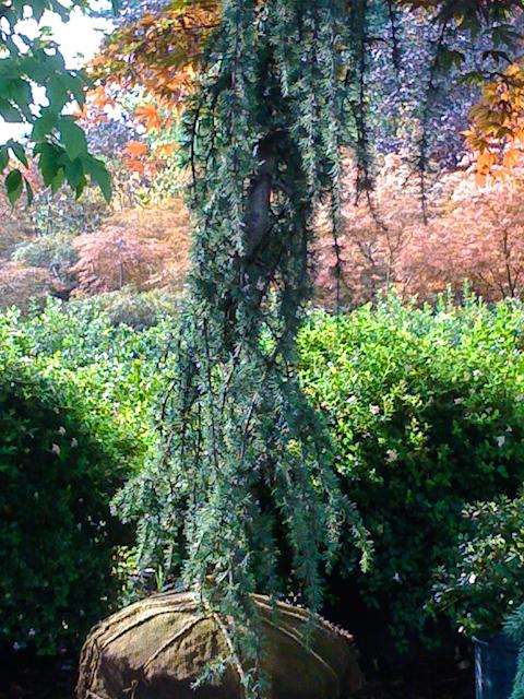 dwarf pine.jpg