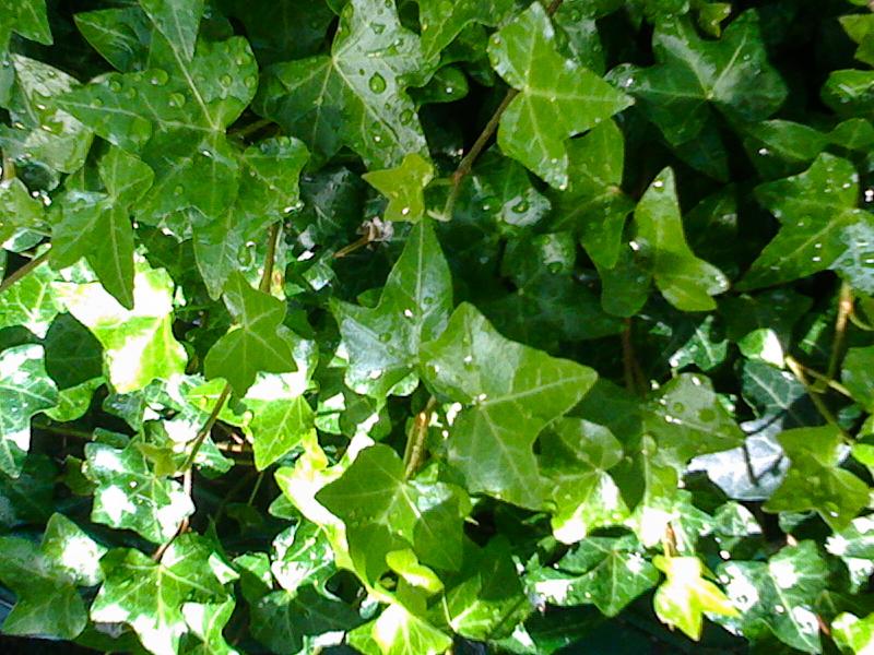 ivy overhead.jpg
