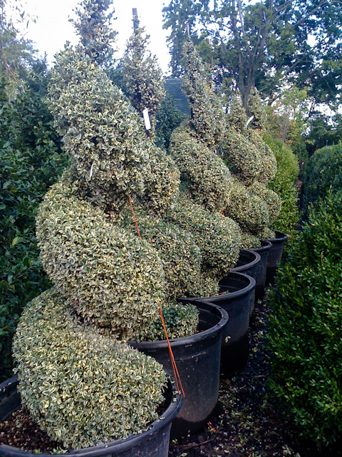 sculpted shrubs.jpg