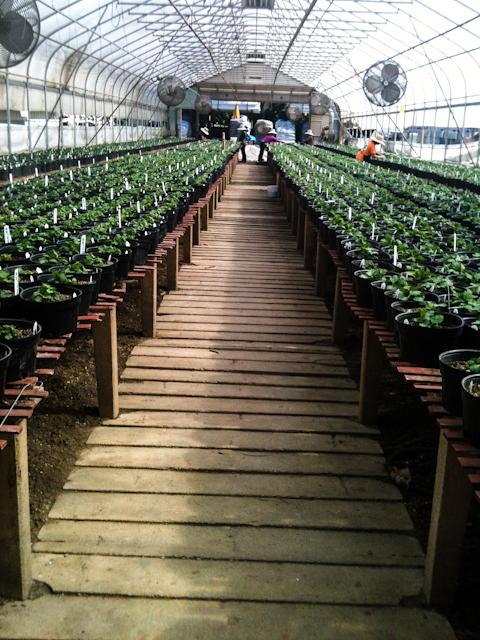 Greenhoue planting