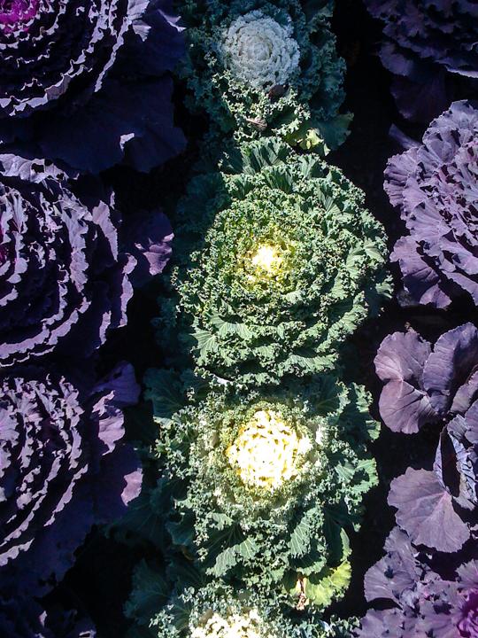 cabbage cu.jpg