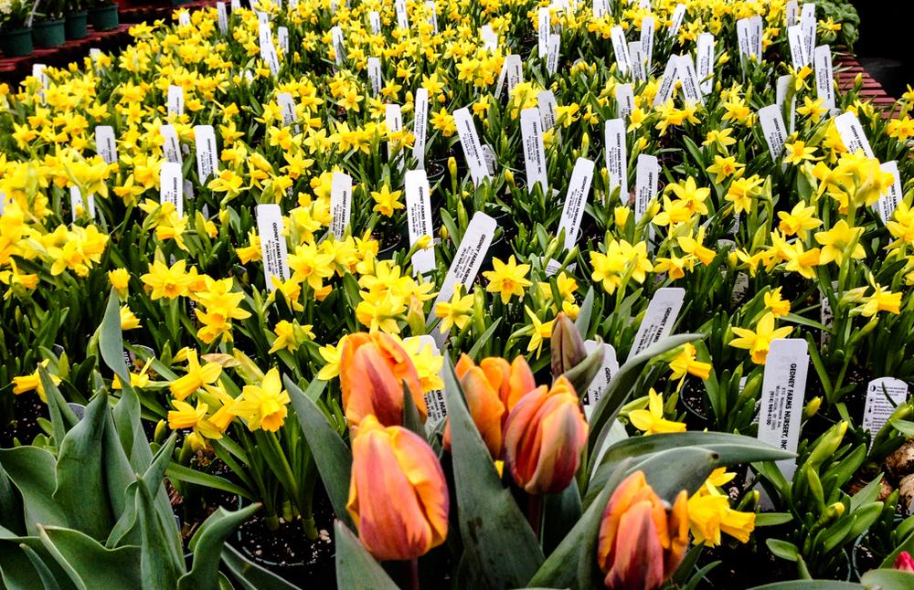 mini daffodil ws horizon.jpg