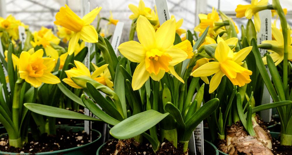 daffodil hz.jpg