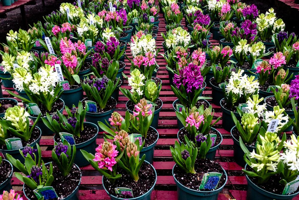 hyacinth ws.jpg