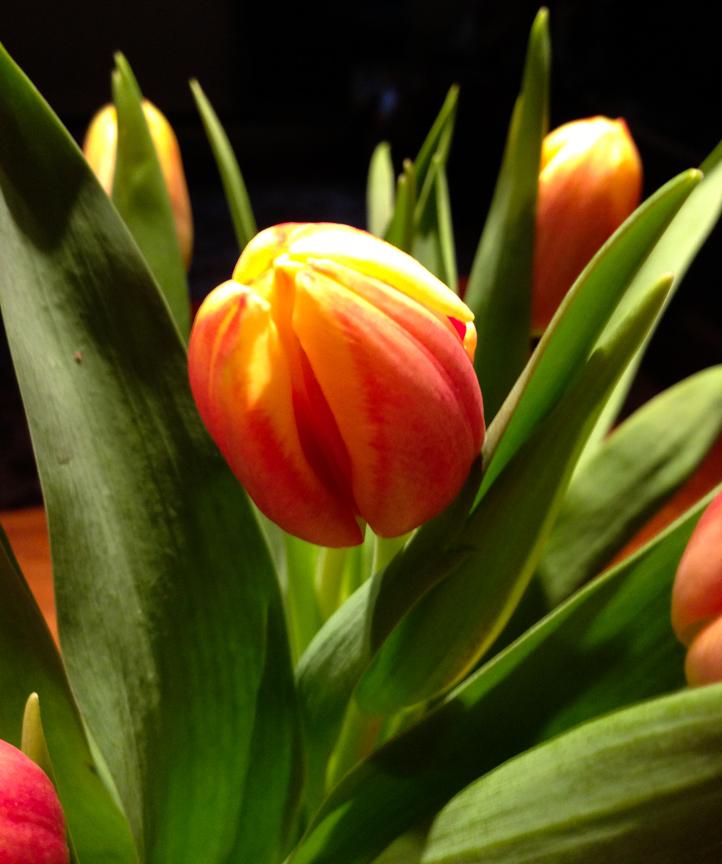 tulip cu.jpg