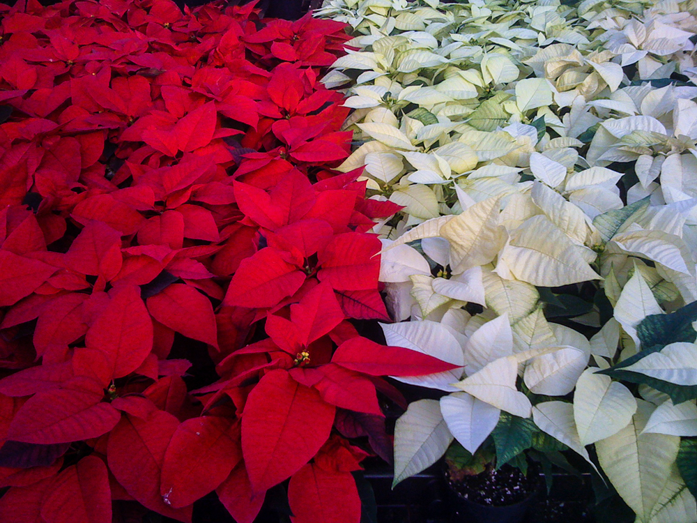 20121128-Red and white poinsettias.jpg