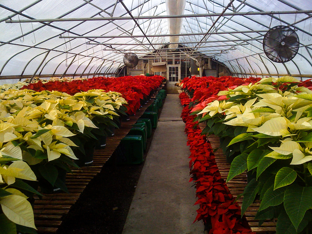 20121128-Poinsettias greenhouse.jpg