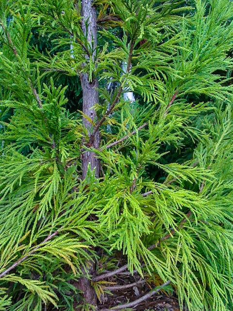 bright pine.jpg