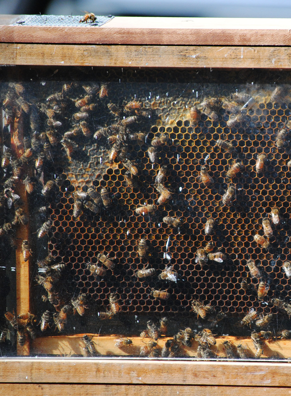 Urban Bee Company honey bees visiting the park.