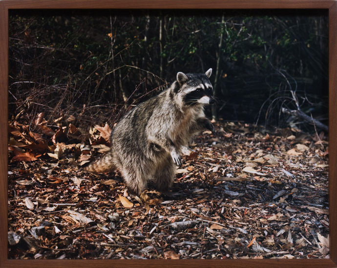thesyzcollection: Elad Lassry Raccoon B 2010 C-Print, 29,2 x 36.8 cm