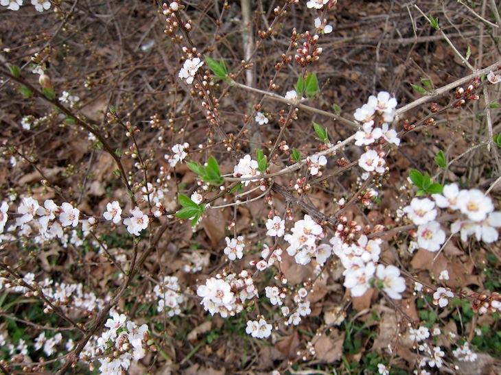 Fin buske med massa vita småblommor