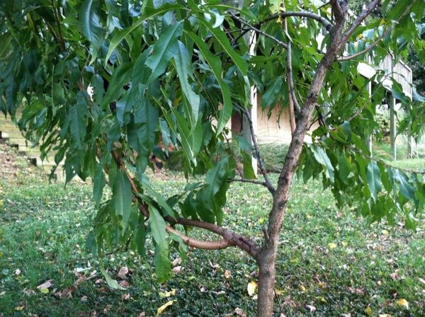 Vårat stackars persikoträd, tyvärr ska det inte trimmas förän till vintern.. Behöver nog lite omsorg!