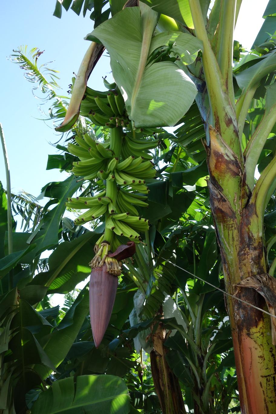 Bananträd längs med vägen ner