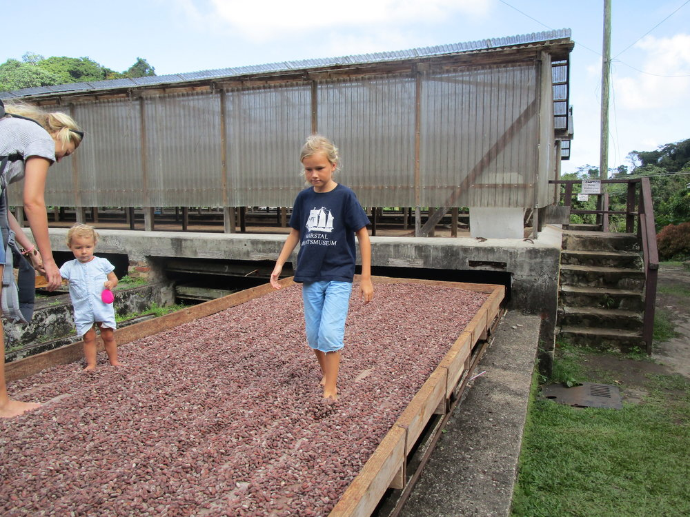"Truls is helping out airing the cocoa beans in Grenada! ""On the Wind podcast Episode #206"" 59-north.com"