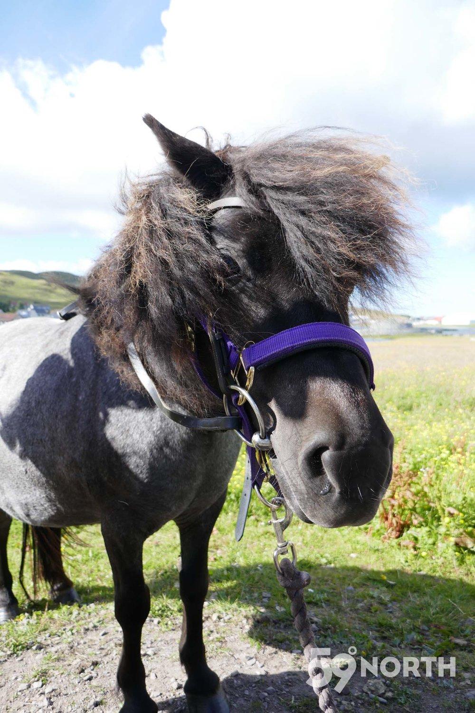 Shetland pony in Shetland!!  Leg 8, 2017: Sweden to Scotland 59-north.com