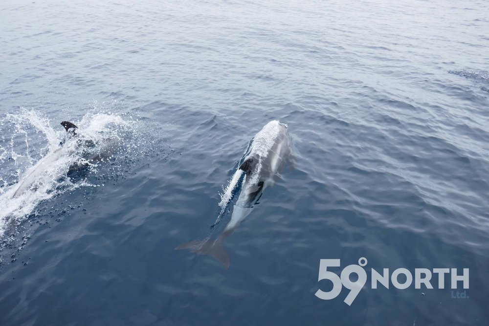 North Sea dolphins!  Leg 8, 2017: Sweden to Scotland 59-north.com