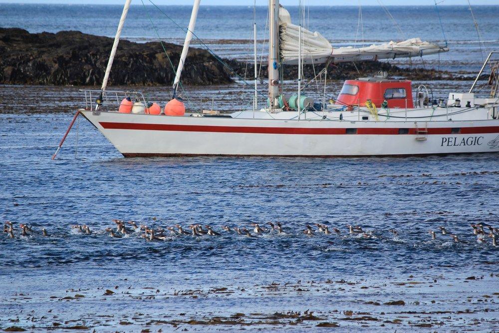 Pelagic and Gentoo penguins, Steeple Jason, Falklands // #OntheWindPodcast w. Skip Novak, #210 // 59-north.com