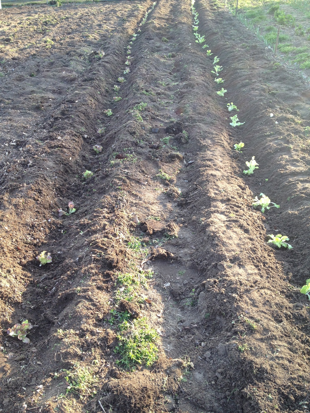 Some newly planted green leaf lettuce