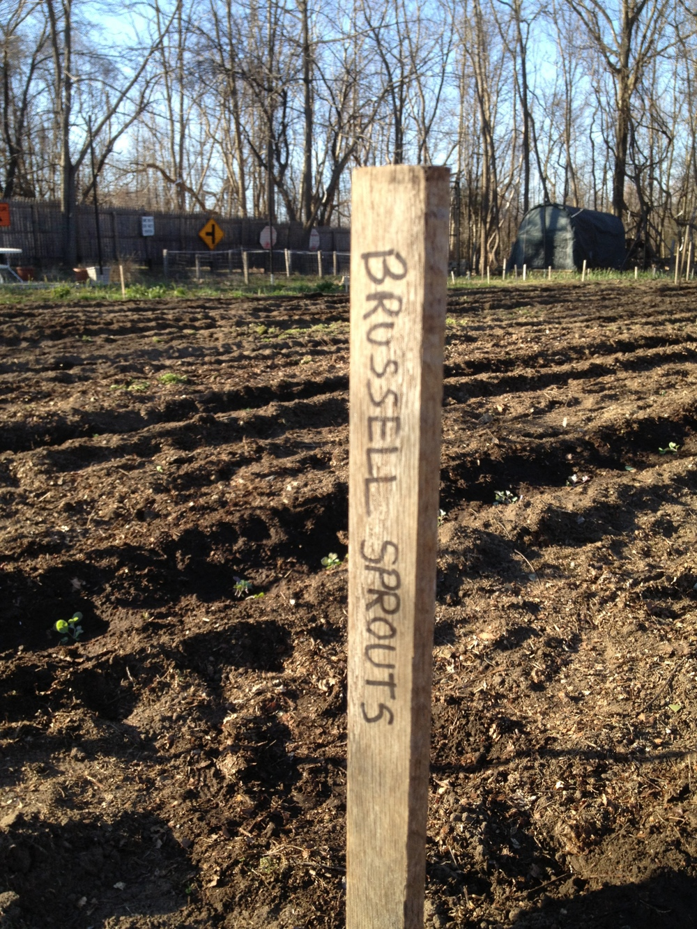 We are planting lots of brussel sprouts this spring! About 12 plants!