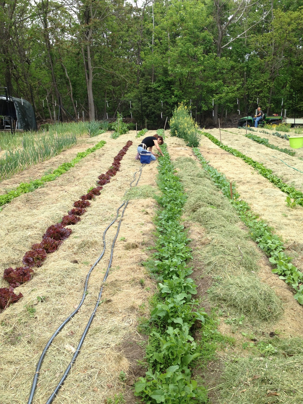 Linda picking from a long row of arugula.