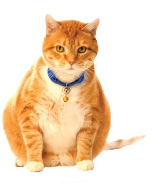 obese cat.jpg