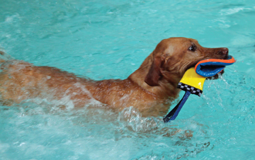 Paws Aquatics doxie and toy.jpg
