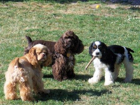 cockerspaniels.jpg