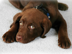 brown dog on white carpet.jpg