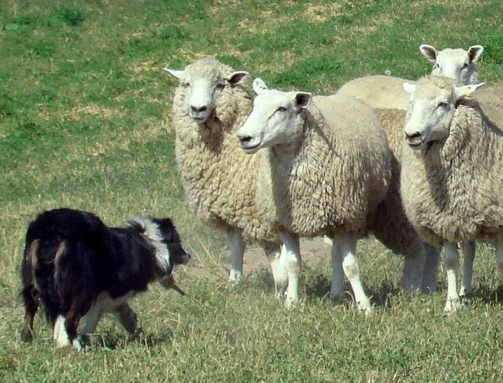 sheepdog_image.jpg