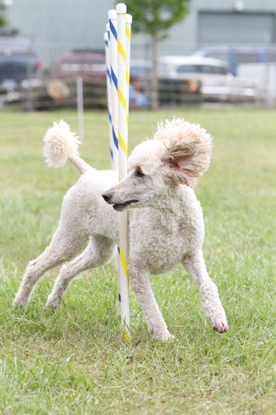 blogFlying-Poodle-2-Joe-Camp-credit.jpg