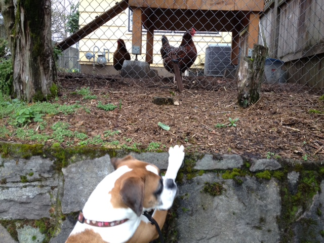 Bella and Chickens.jpg